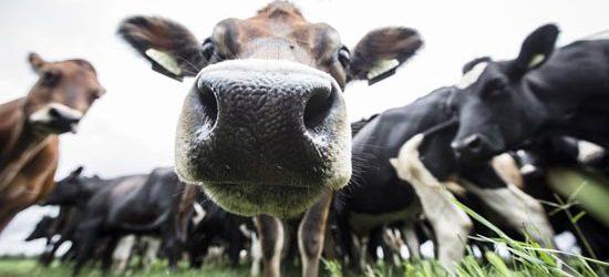 Com ajuda de vaca, polícia soluciona crime na Bahia